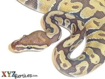 Enchi Orange Ghost Ball Python
