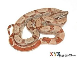 Baby Hypomelanistic Central American Boa