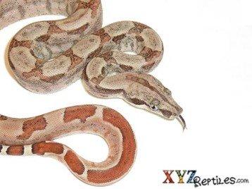 Hypomelanistic Central American Boa