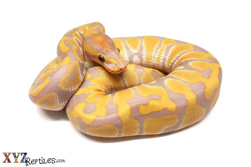 rainbow ball python