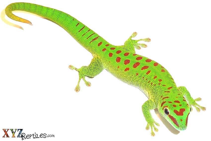 reptile pet
