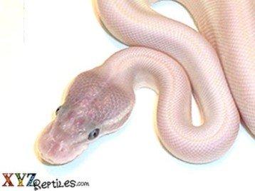 Super Mojave ball python