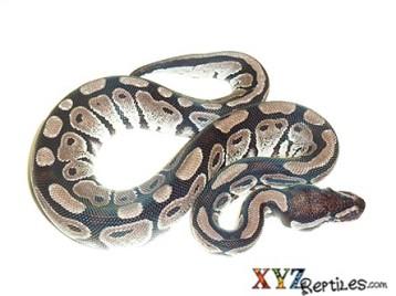 Baby VPI Axanthic Ball Python
