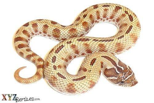 hog nose snakes