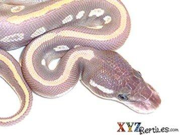 purple potion ball python