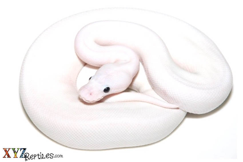black eyed lucy ball python