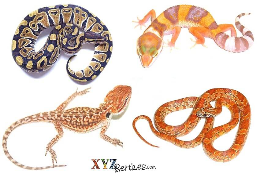 best reptile pets for handling