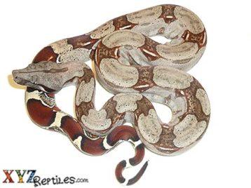 Baby Suriname Boa Constrictor