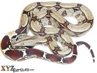 Suriname Boa Constrictor for sale