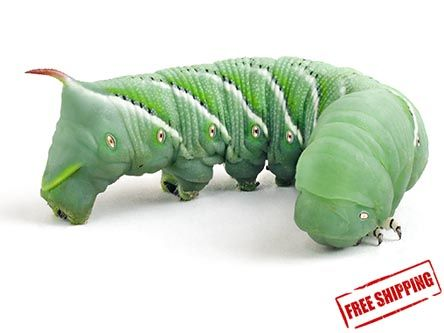Hornworms For Sale