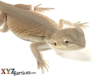 witblits bearded dragon