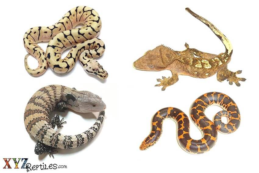 best reptiles for sale online