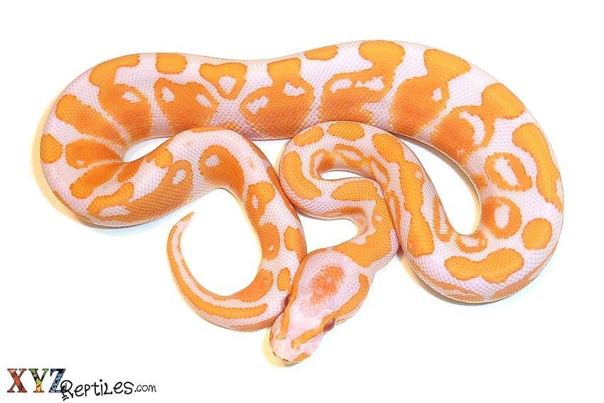 albino ball python morph