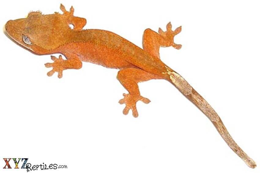 Crested Gecko Food List