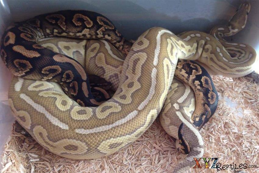 how to breed ball pythons