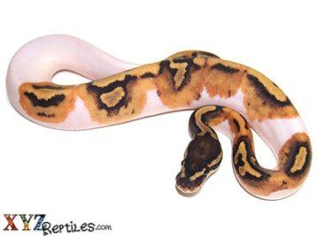 Baby Pied Ball Python