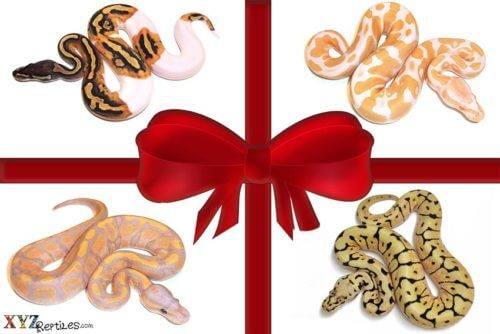 Holiday Snakes For Sale