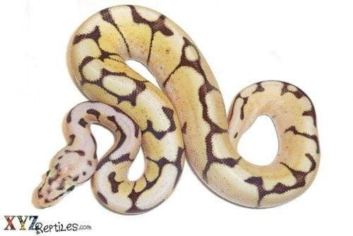 ball python morphs