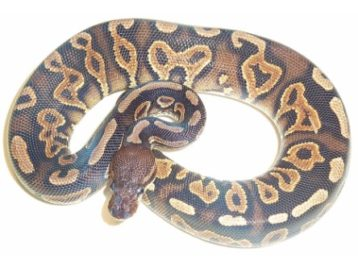 cinnamon yellowbelly ball python