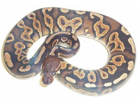 cinnamon yellowbelly ball python