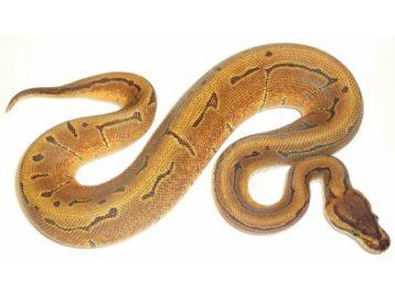 enchi pinstripe ball python