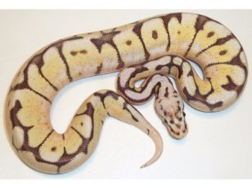 Fire Bee Ball Python