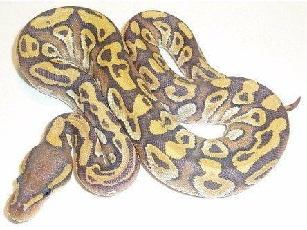 Hypo Mojave Ball Python