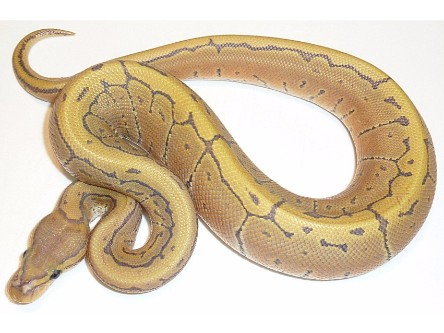 Hypo Pinstripe Ball Python