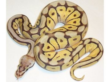 199A0013 pastave bumblebee ball python