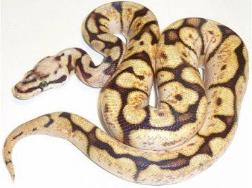 199A0016 calico bumblebee ball python