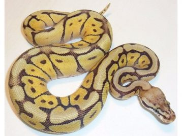 199A0017 pastave bumblebee ball python