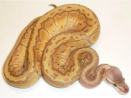 emperor pinstripe ball python