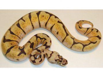 enchi bumblebee ball python