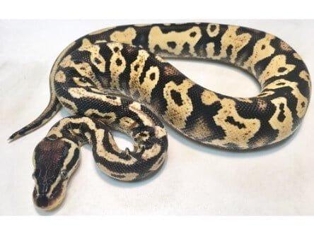 pastel yellowbelly ball python
