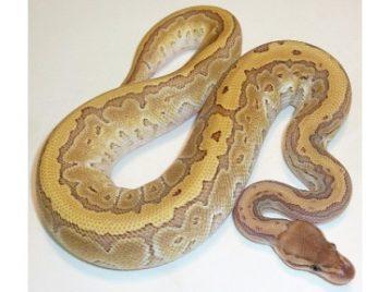 Kingpin Ball Python