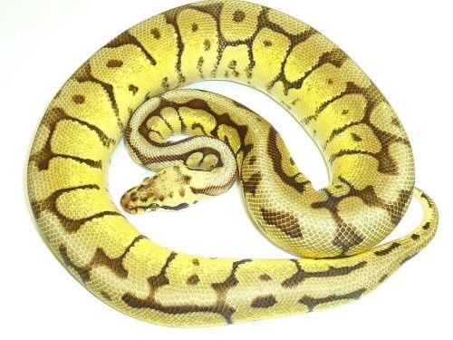male mojave bee ball python
