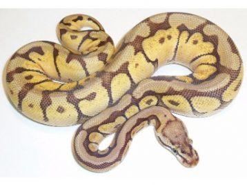 Mojave Bee Ball Python