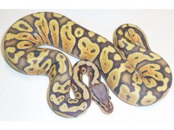 pastel ghost ball python a149009