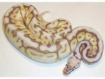 queenbee ball python a1990021