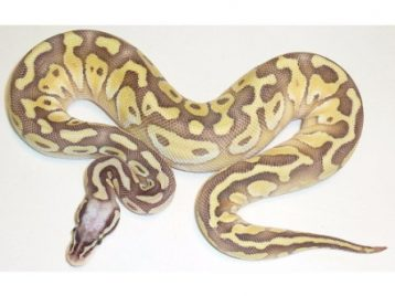 Super Pastel Butter Ball Python