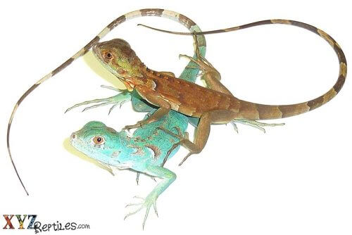 top lizards for sale