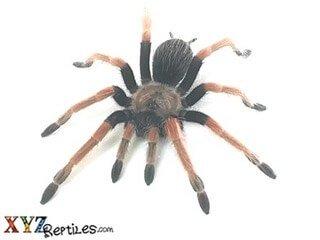 Arachnids For Sale