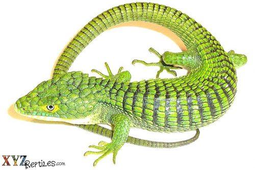 history of lizards