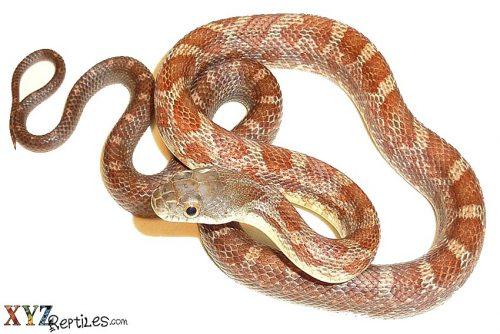 snake shedding