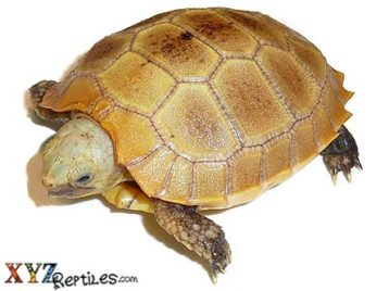 baby elongated tortoise for sale