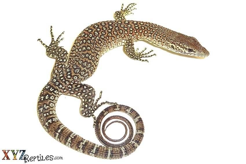 lizard needs