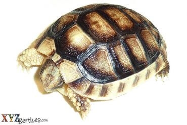 popular tortoises for sale