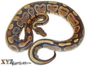 Adult Female Ball Python