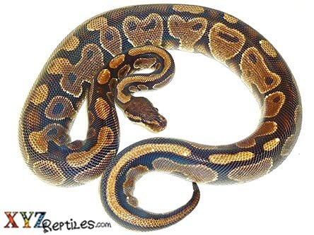 adult ball python for sale