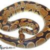 adult ball python for sale